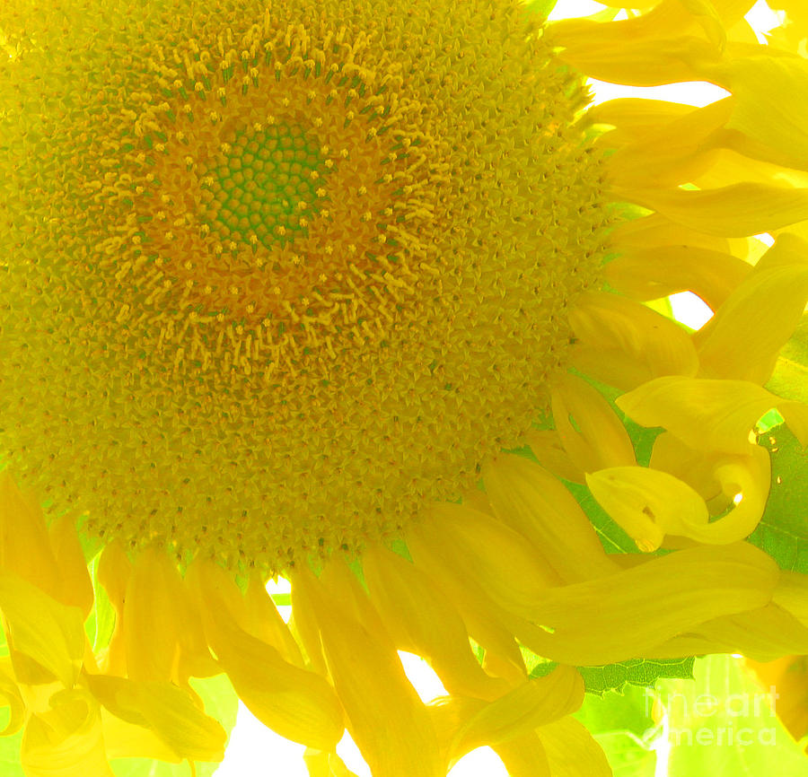 Flower Photograph - Sunny Flower by Marcia Nichols