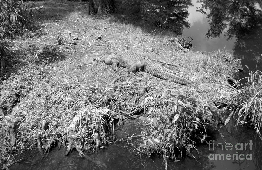 Black And White Photograph - Sunny Gator Black And White by Joseph Baril