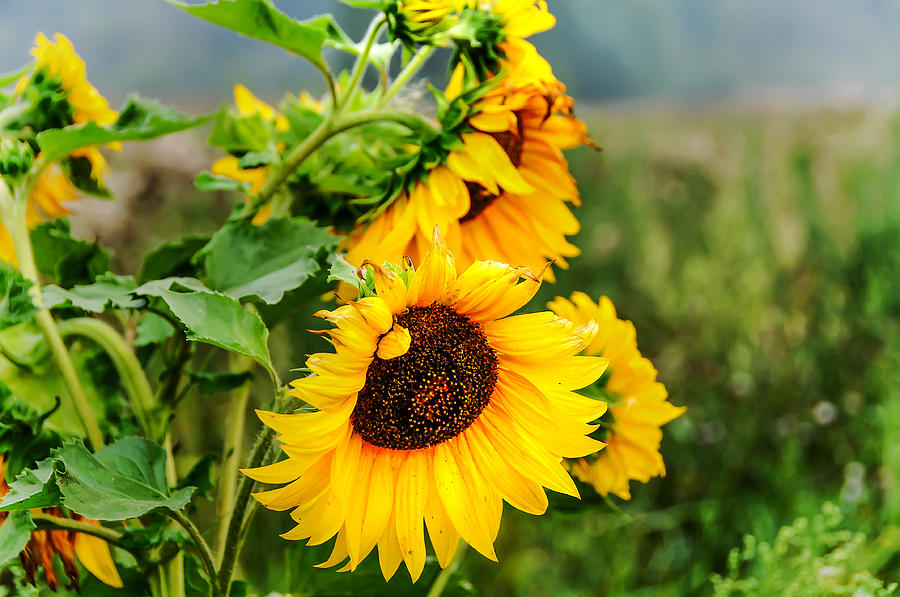 Sunflower Photograph - Sunny Meadow 1 by Jenny Rainbow