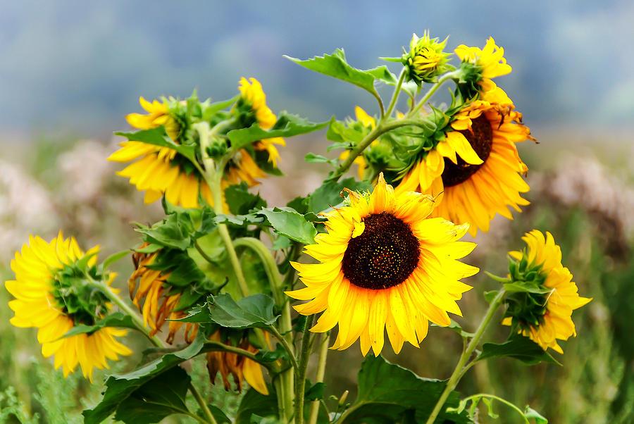 Sunflower Photograph - Sunny Meadow by Jenny Rainbow