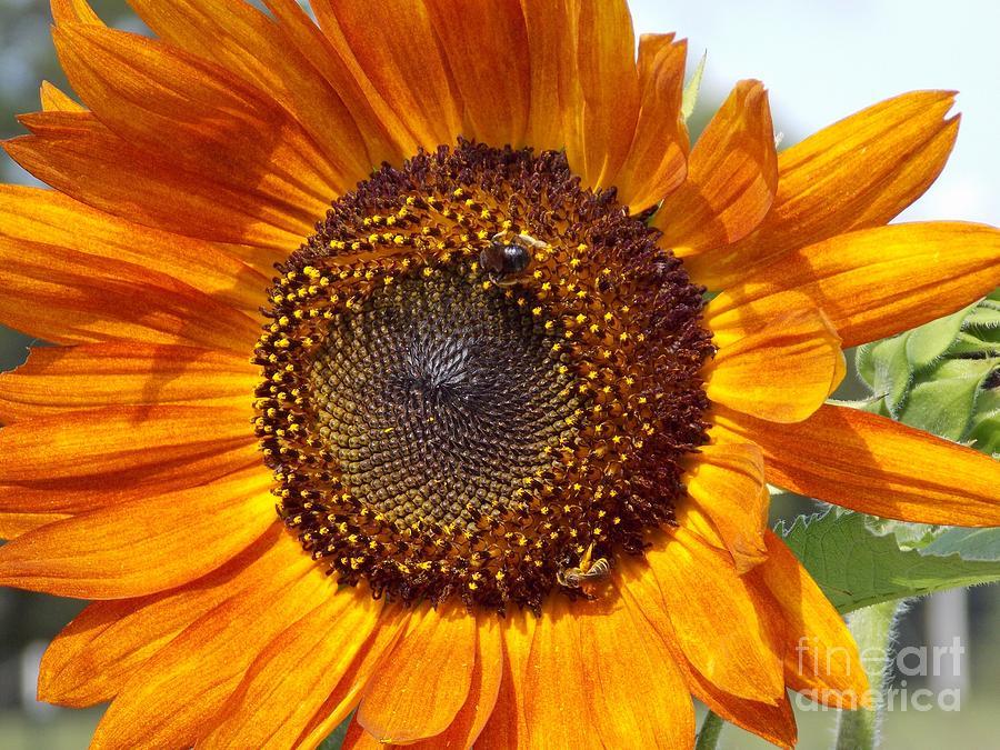 Sunflower Photograph - Sunny Sunflower by Annette Allman