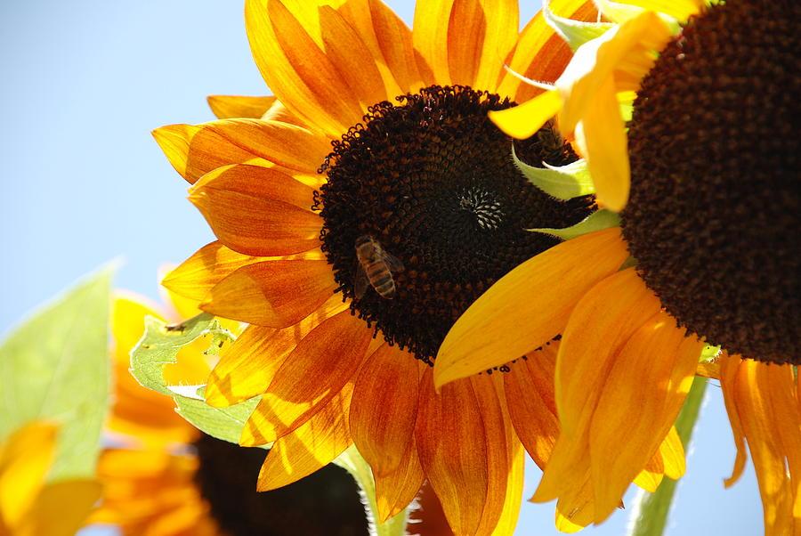 Sunny Sunflower Faces Photograph