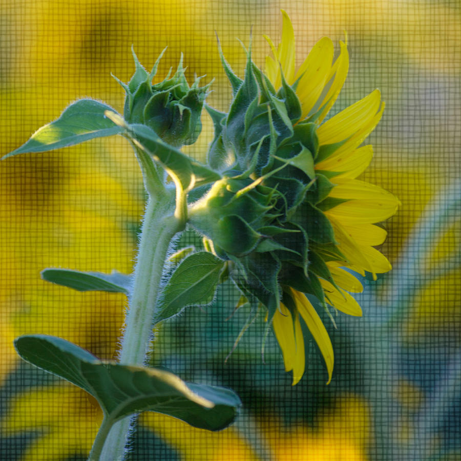 Sunflower Photograph - Sunny With Texture by Rima Biswas