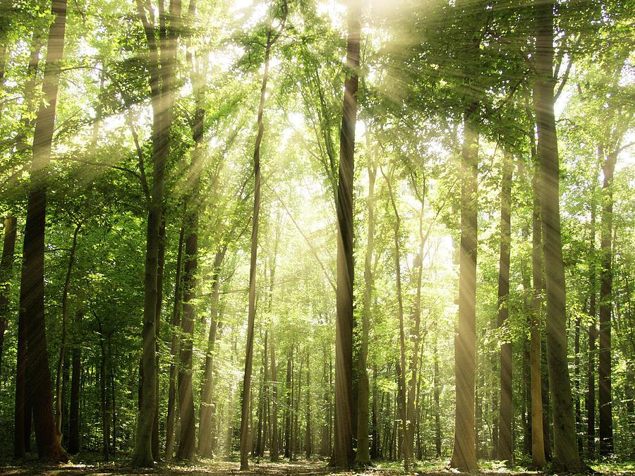 Sunrays Through Treetops Photograph by Melissa Fague