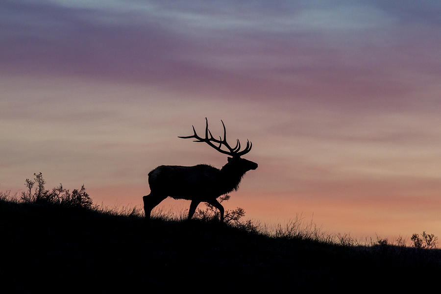 Sunrise Bull by D Robert Franz