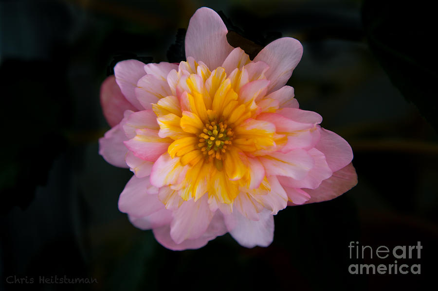 Flower Photograph - Sunrise by Chris Heitstuman