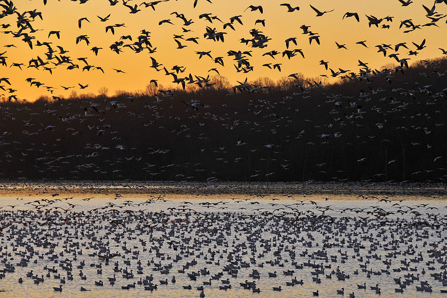 Snow Geese Photograph - Sunrise Departure by Dan Myers