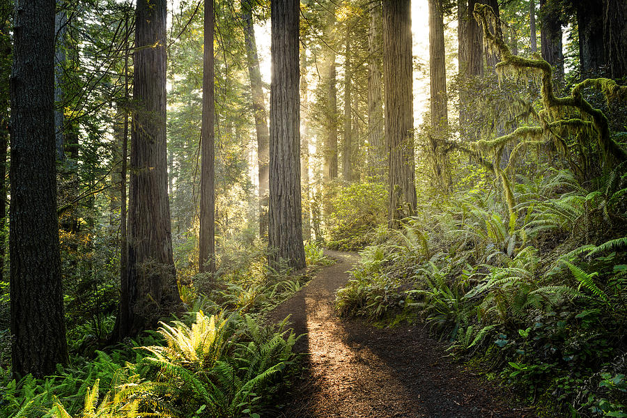 Sunrise In The Redwoods Photograph by HadelProductions