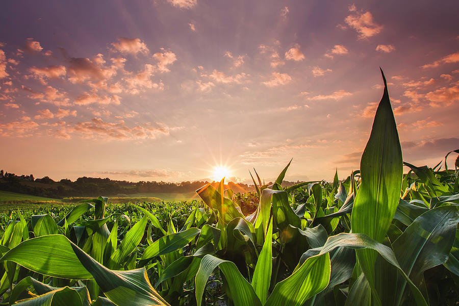 Sunrise Over Field Of Crops In France Photograph by Verity E. Milligan