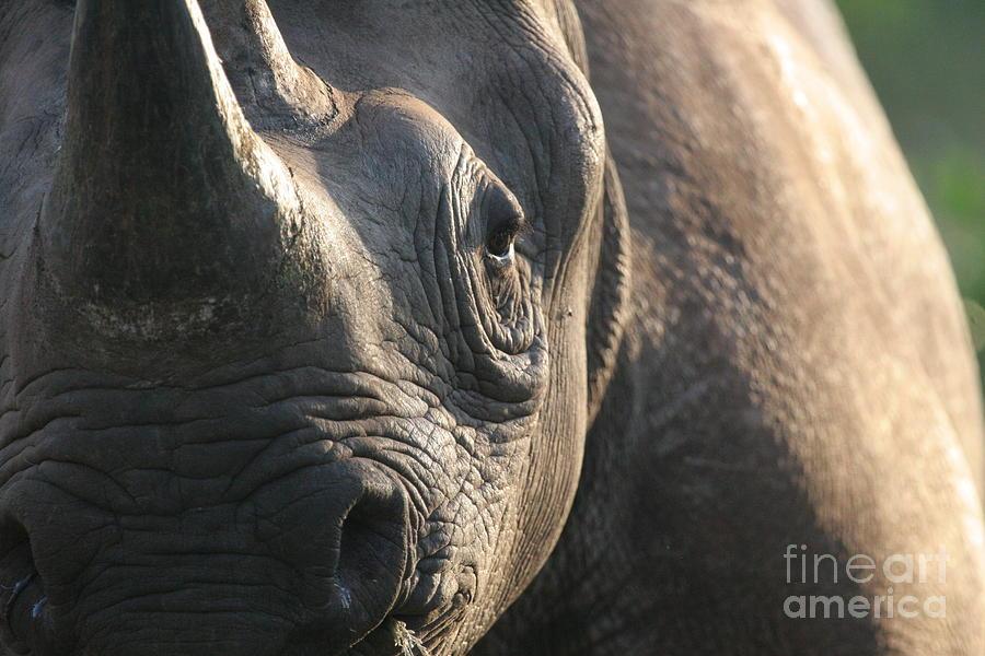 Black Rhino Photograph - Sunrise Rhino by Alison Kennedy-Benson