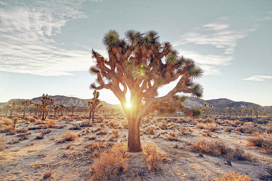 Sunrise Through A Joshua Tree Photograph by James Oneil