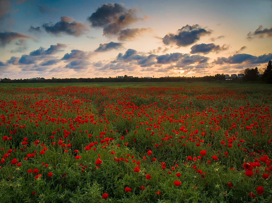 Sunset And Poppies Photograph