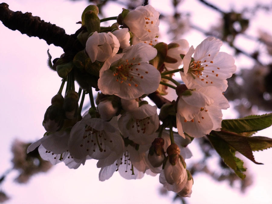 Cherry Photograph - Sunset Cherry Blossoms by Christine Burdine