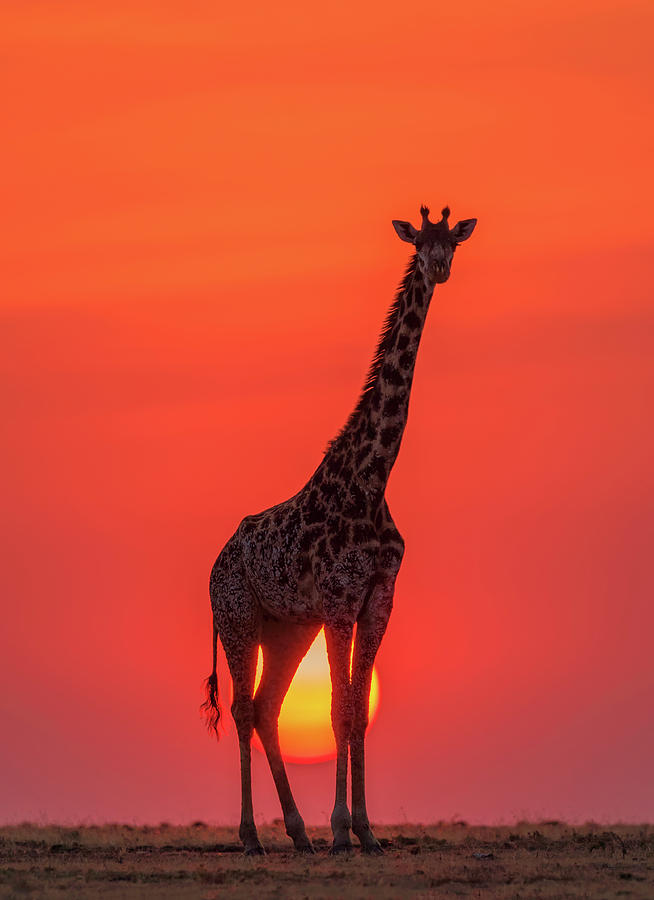 Sunset Photograph - Sunset Giraffe by Henry Zhao
