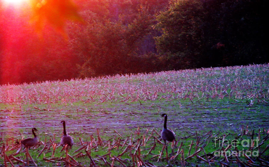 Cornfield Photograph - Sunset On Mallards by Tina M Wenger