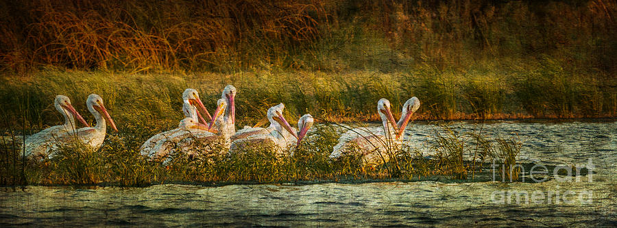 Wildlife Preserve Photograph - Pelicans Rest by Pam Vick