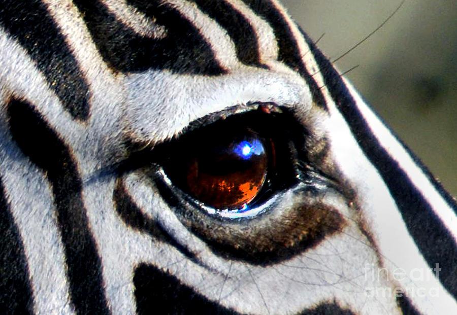 Sunset Reflected In Zebra's Eye Photograph by Alexandra ...