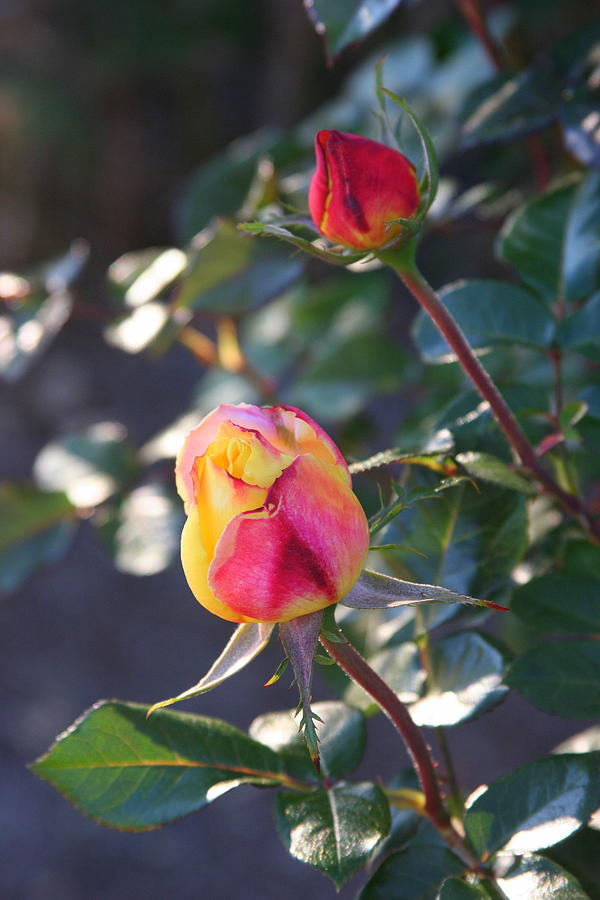 Rose Photograph - Sunset Roses by Paula Tohline Calhoun