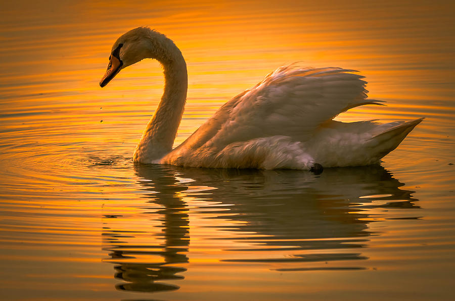 Alone Photograph - Sunset Swan by Brian Stevens