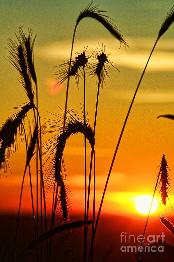Sunset Thru Weeds Sc0818-07 Photograph