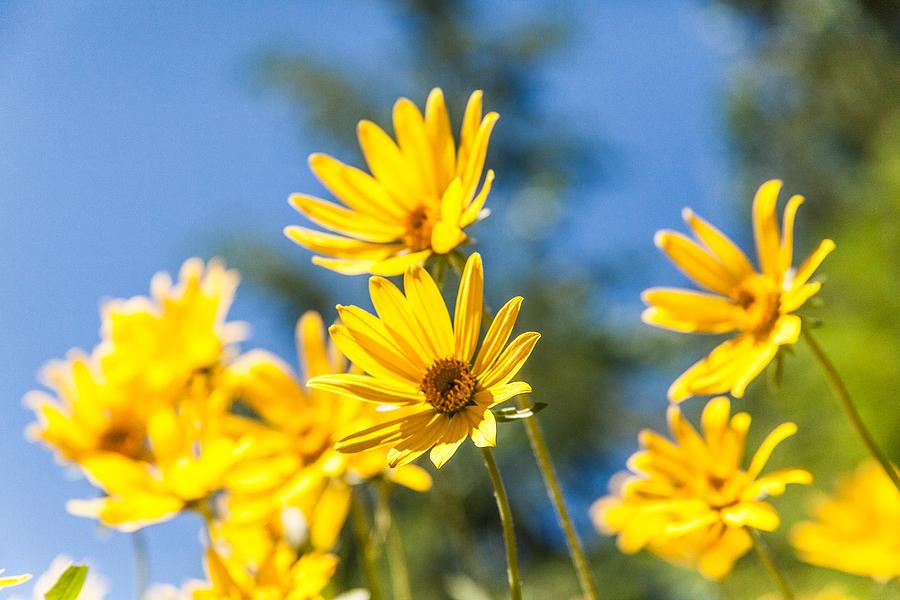Flowers Photograph - Sunshine by Chad Dutson