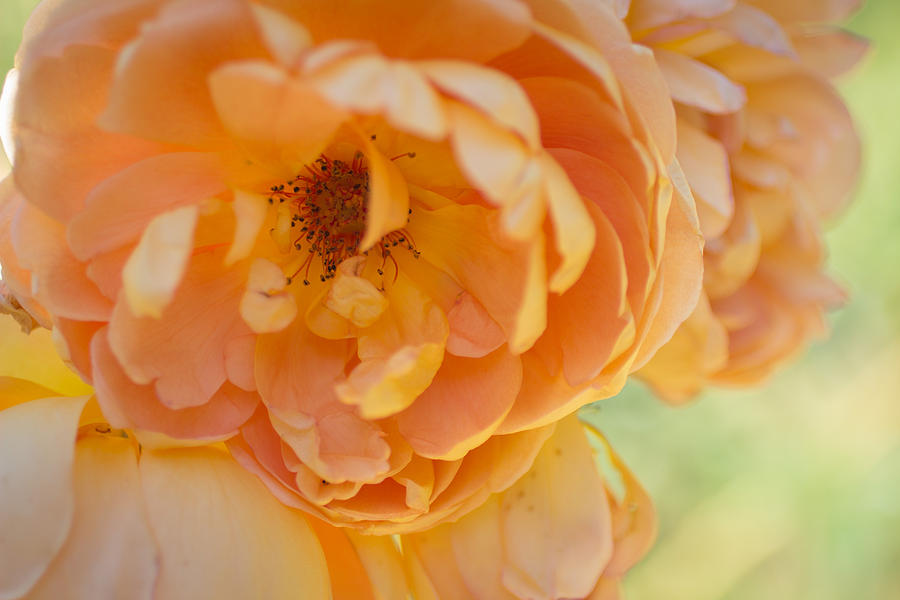 Roses Photograph - Sunshine by Julie Andel