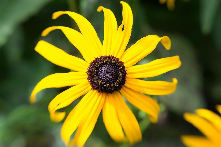 Daisy Photograph - Sunshine by Kimberly Ayars