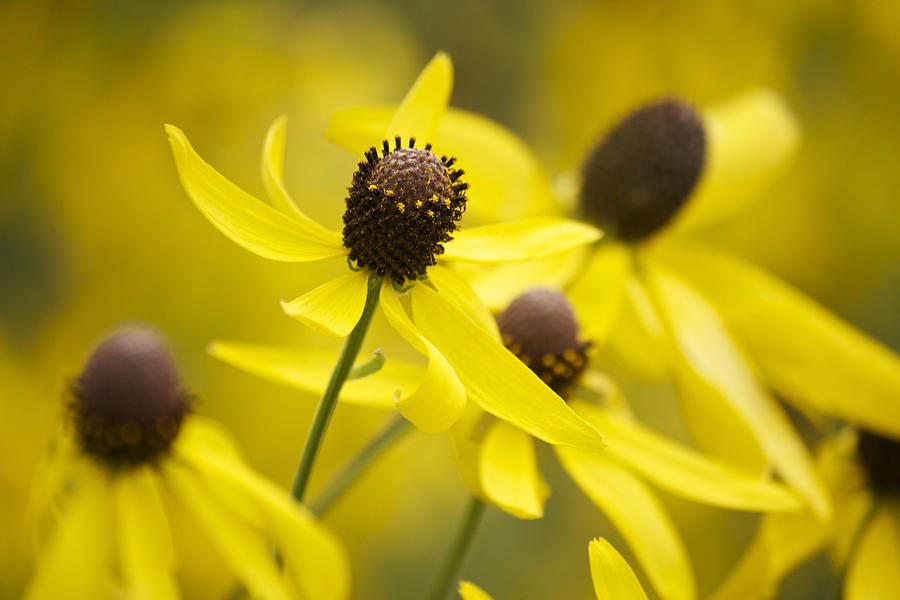 Yellow Coneflower Photograph - Sunshine On A Cloudy Day by Penny Meyers
