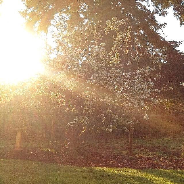 Tree Photograph - Sunshine On My Favorite Pear Tree All by Blenda Studio