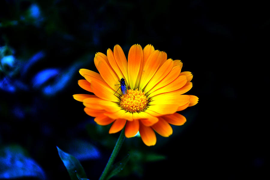 Flower Photograph - Sunshine- Viators Agonism by Vijinder Singh
