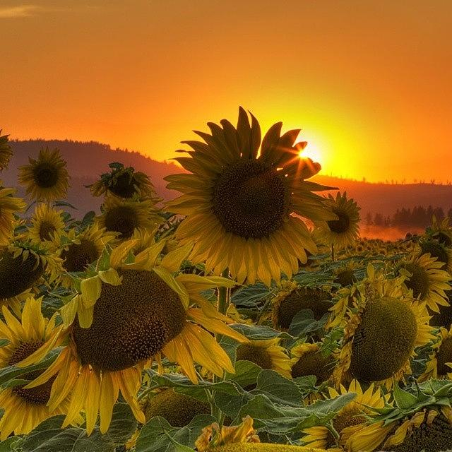 Sunflowers Photograph - Sunst And Sunfloers  #sunset by Mark Kiver