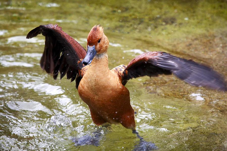 Duck Photograph - Super Duck by Goyo Ambrosio