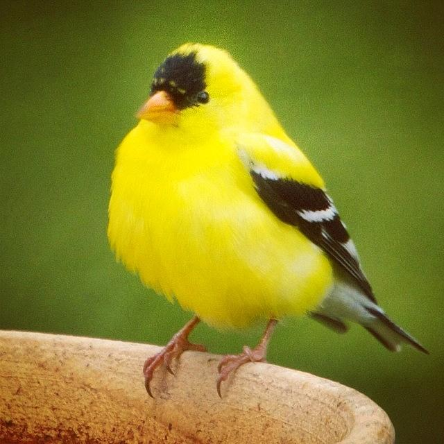 Cute Photograph - Super Fluffed Up Goldfinch by Heidi Hermes