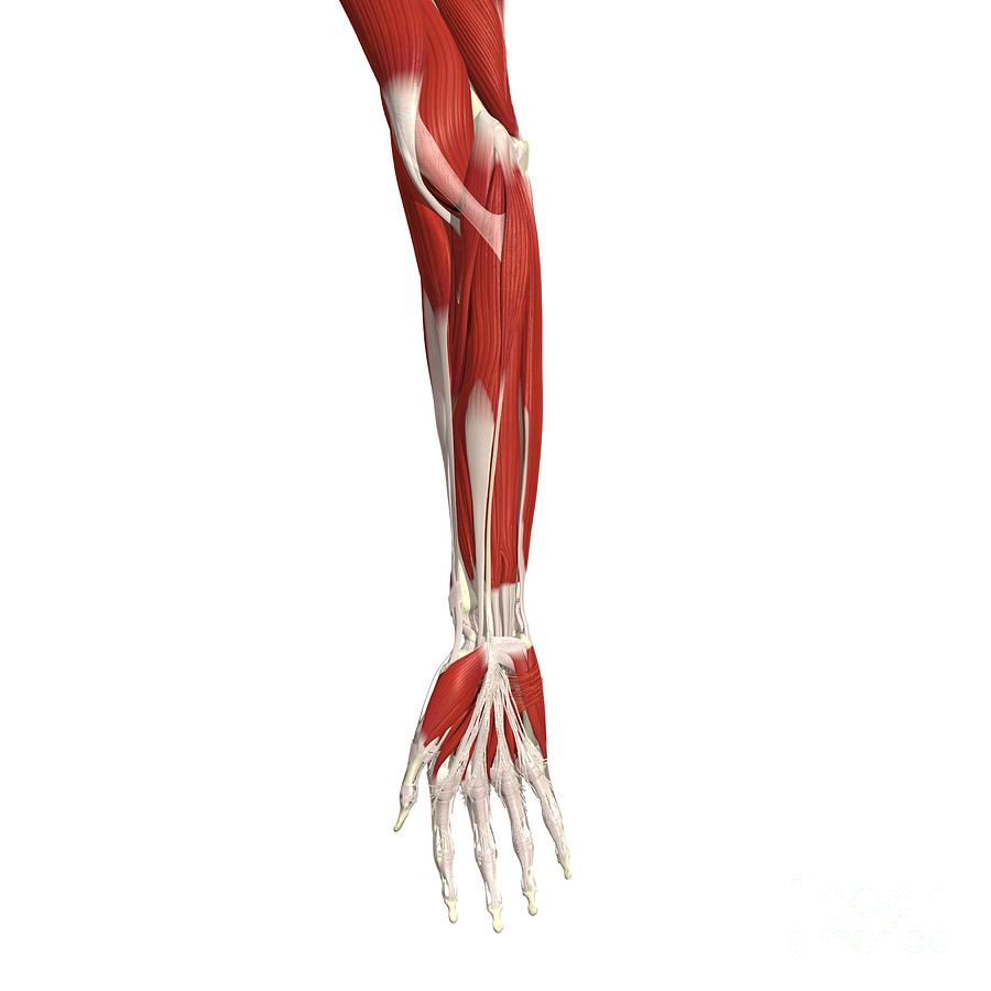 Superficial Muscles Of Forearm And Hand Photograph by Medical Images ...