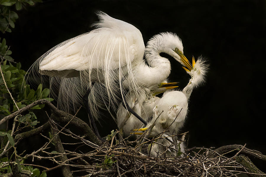 Great Egret Photograph - Suppertime by Priscilla Burgers