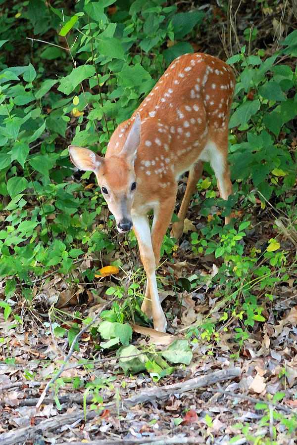Surprised Fawn by Lorna R Mills DBA  Lorna Rogers Photography