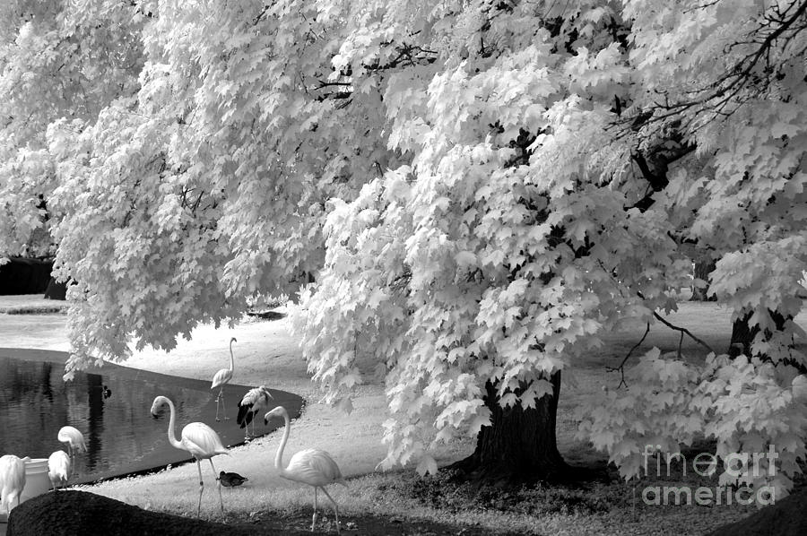 Infrared photograph surreal black white infrared flamingo nature scene by kathy fornal