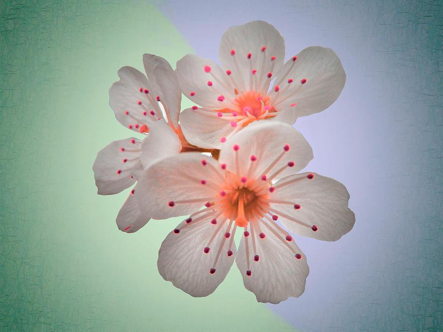 Surreal Sakura - Close Up Floral Fine Art Photography Photograph