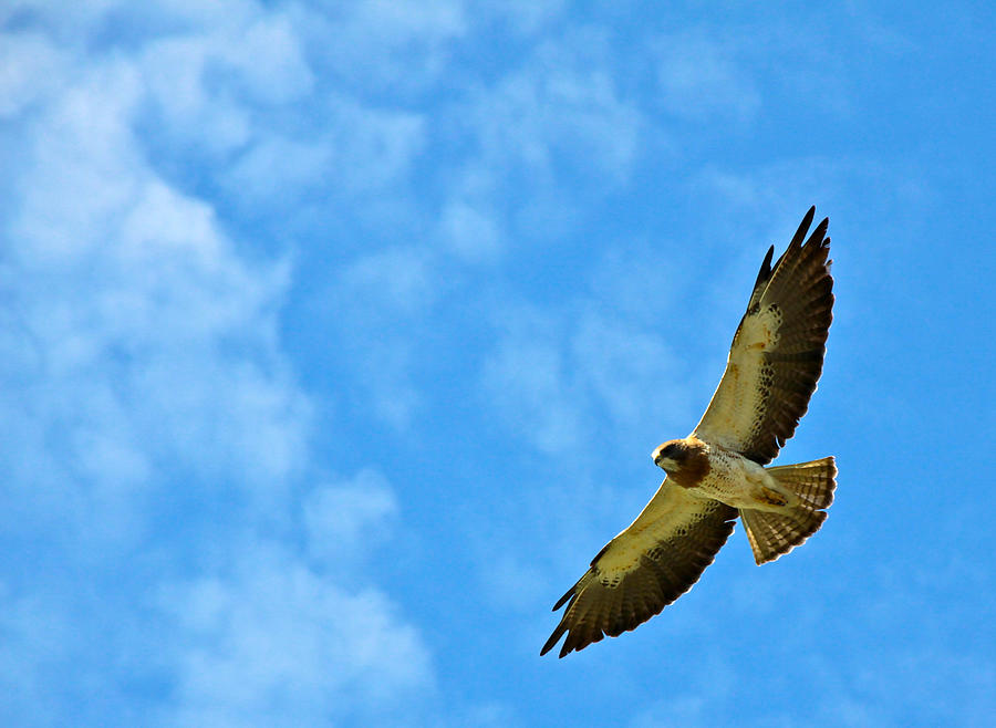Hawk Photograph - Swainsons Hawk Snake River Birds Of Prey Natural Conservation Area by Ed  Riche