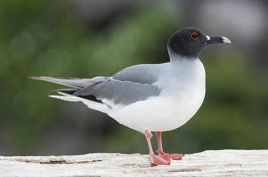 Swallow-tailed Gull Galapagos Photograph by Tui De Roy