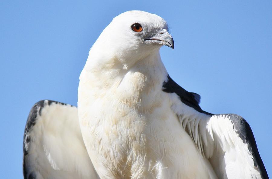 Kite Photograph - Swallow-tailed Kite by Paulette Thomas