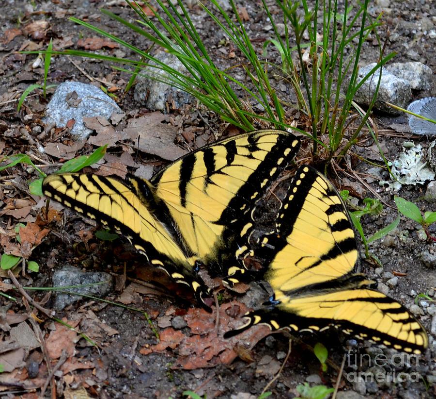Wildlife Photograph - Swallowtail Butterfly Couple by Eva Thomas