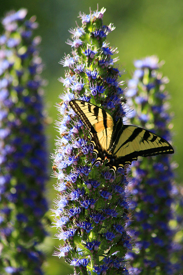 Butterfly Photograph - Swallowtail Butterfly by Doug Dailey