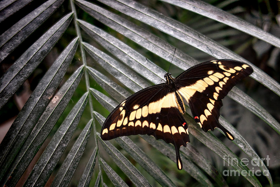 Swallowtail Photograph - Swallowtail Butterfly by Olivier Le Queinec