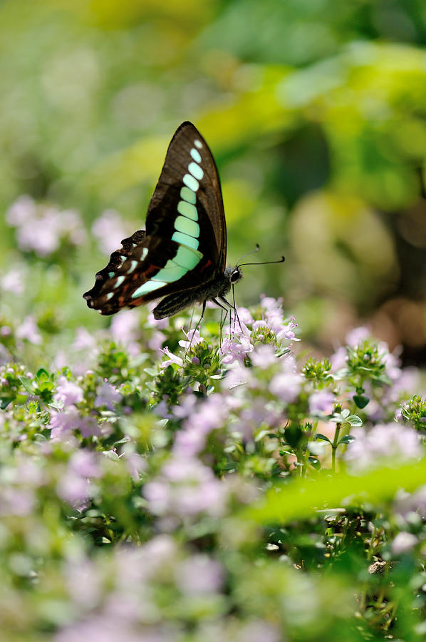 Insect Photograph - Swallowtail Butterflygraphium Sarpedon by Myu-myu