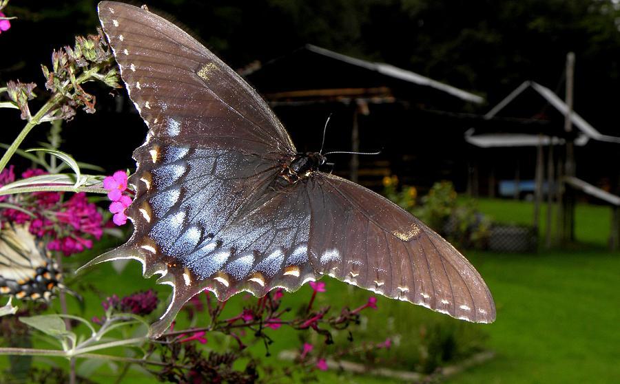 Flower Photograph - Swallowtail With A Lil Vintage  by Kim Galluzzo Wozniak