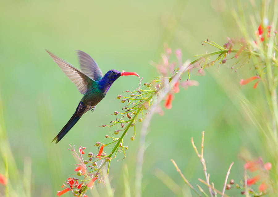 Swallow-tailed Hummingbird Photograph - Swalow-tailed Hummingbird by Joab Souza