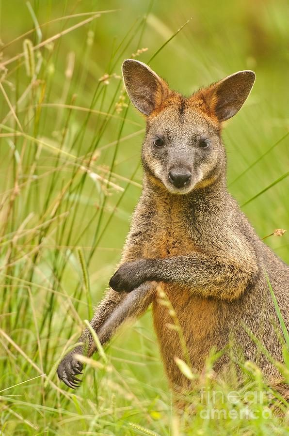 Swamp Wallaby Photograph - Swamp Wallaby by Michael  Nau