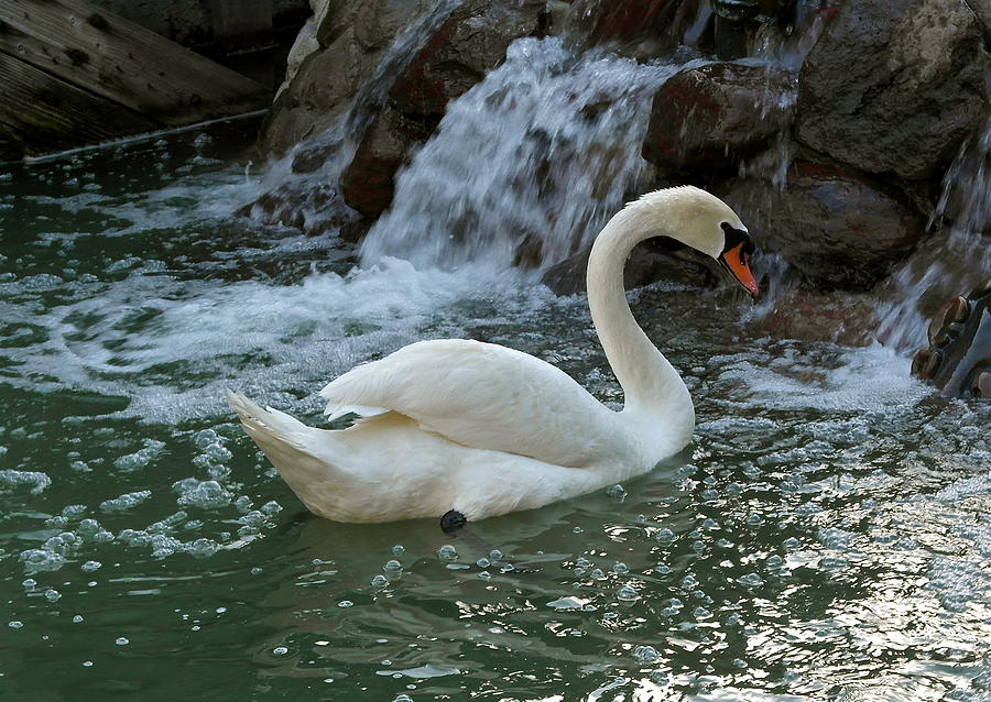 Swan a Swimming by Michele Myers