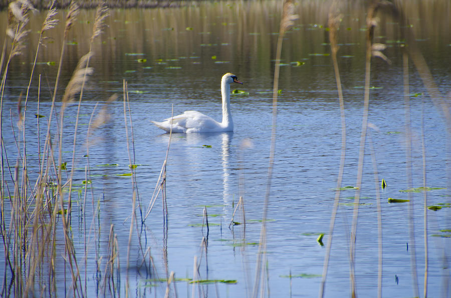 Swan Photograph - Swan At Derryallen Lough by Bill Cannon